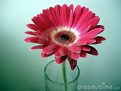 Red-White Gerbera Flower in a Glass on Green Background