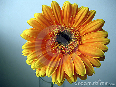 Yellow - Orange Gerbera Flower on a blue background