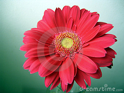 Pink-red with Yellow Center Gerbera Close up