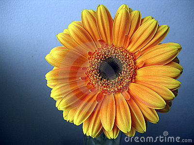 Yellow - Orange Gerbera Flower Close up on Blue Background