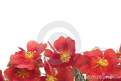 Red flower background 1
