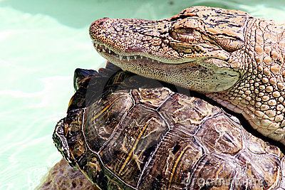The Alligator and the Turtle