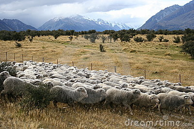 Sheeps, Mt Cook, New Zealand