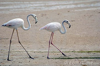 Walking flamingoes