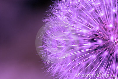 Purple dandelion.