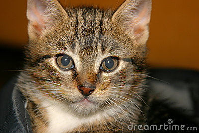 Closeup of young kitten