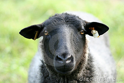 Closeup of a Sheep.