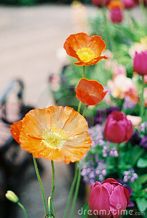 Orange and yellow poppy flowers