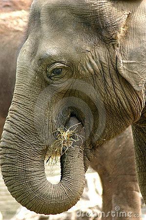 Elephant Eating Straw