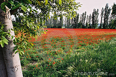 Poppies field 2