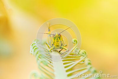 Grasshopper yellow on branch of trees with copy space add text select focus with shallow depth of field