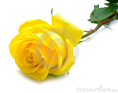 Yellow rose with green leaves