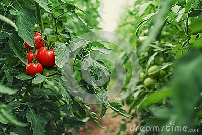 Tomatoes in a Greenhouse. Horticulture. Vegetables