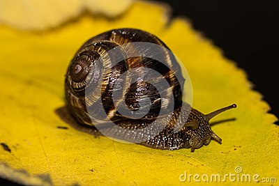 Snail is a unique living creature that is protected by a shell and can live not only in the wild, but also at home.