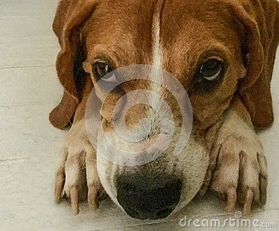 Cute reddish brown Beagle lying thoughtfully on the floor