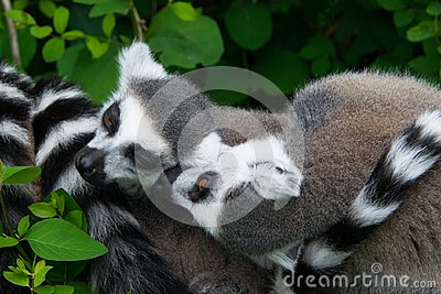 Two lemurs cose up in the natural environment