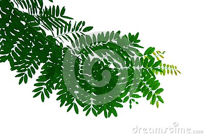 Green leaf and branch of tree, shape isolated on white background.
