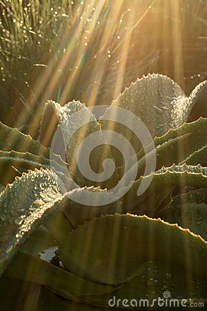 An aloe plant in South Africa with thick fleshy leaves and drops of water in a streak of sunlight