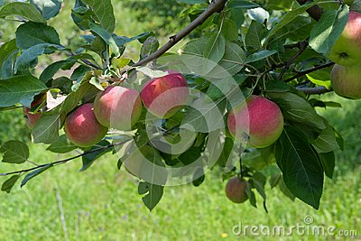 Large red apples on a branch