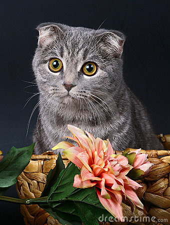 Scottish fold cat in a basket with flowers.