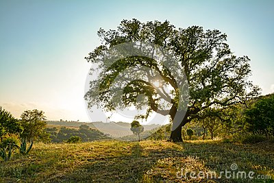 Cork oak tree Quercus suber and mediterranean landscape in evening sun, Alentejo Portugal Europe