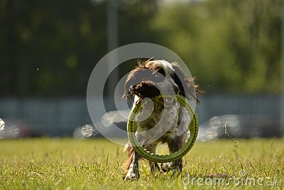 Russian hunting spaniel. Young energetic dog on a walk. Puppies education, cynology, intensive training of young dogs. Walking dog