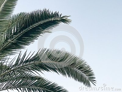 Texture of tropical southern large green leaves, branches of deserted palm trees against the blue sky and copy space