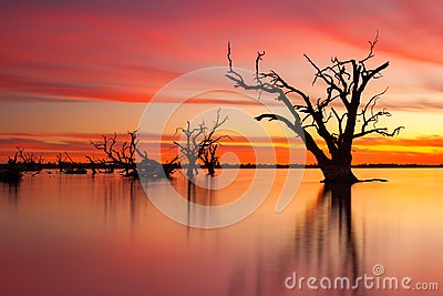 An iconic old dead redgum tree in Lake Bonney Barmera South Aus