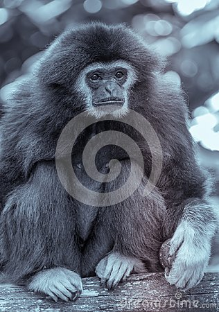 Single gibbon monkey at the zoo in black and white sitting on a trunk