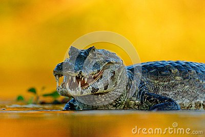 Yacare Caiman, Pantanal, Brazil. Detail portrait of danger reptile. Crocodile in river water, evening light.