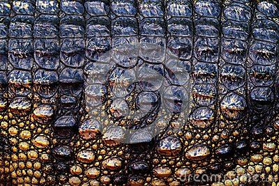 Siamese crocodile, Crocodylus siamensis, freshwater reptile native to Indonesia. Close-up skin detail of rare animal. Art view of
