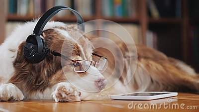 A funny dog in headphones, lies on the floor near the tablet. Devices and animals