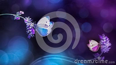 stock image of beautiful white blue butterflies on the flowers of lavender. summer spring natural image in blue and purple tones.
