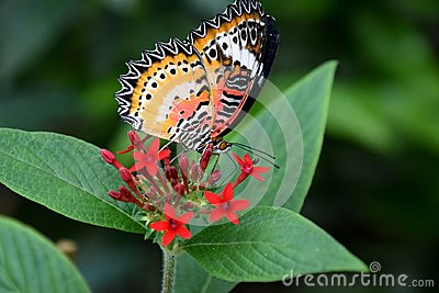 Cethosia biblis butterfly on red tropical flower, butterfly with patterned wings