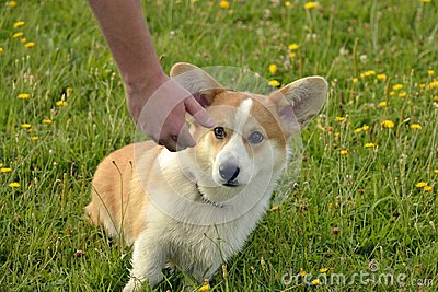 Puppy Corgi pembroke on a walk. Young energetic dog on a walk. Puppies education, cynology, intensive training of young dogs. Walk