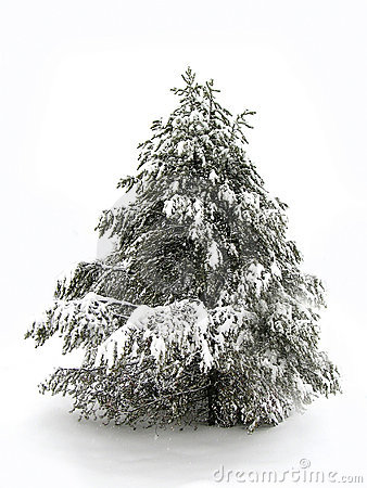 Pinetree in Winter Snow