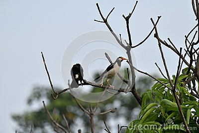 Two Mynas
