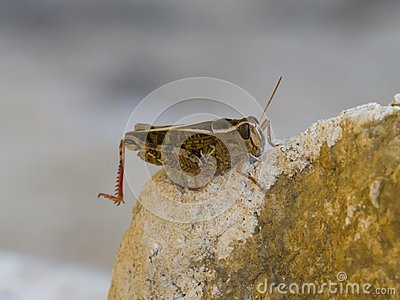 Brown cricket on rock