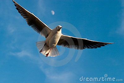 Seagull flying on a blue sky