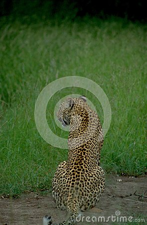 South Africa: The back of a lepard in the high gras of the Kalahari