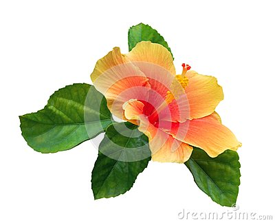 Orange color hibiscus flower with green leaves isolated on white background, path