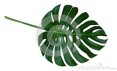 Green monstera plant leaf with stalk, the tropical evergreen vine isolated on white background, clipping path