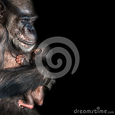 Portrait of mother Chimpanzee with her funny small baby at black