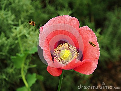 Red poppy flower closeup with approaching hoverflies