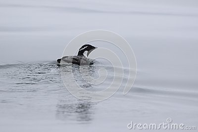 ancient murrelet who swims on the water overcast day