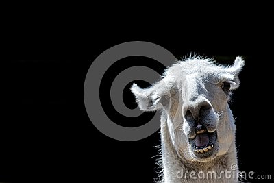 Stupid looking animal. Goofy llama. Funny meme image with copy-space.
