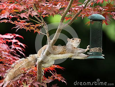 Grey Squirrel eating from a bird feeder on a colorful Japanese M