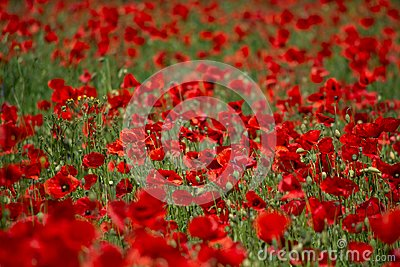 Poppy`s field in summertime , close up with red blurry background