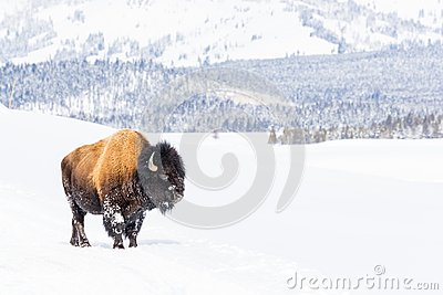 Snowy bison covered in snow in Yellowstone National Park