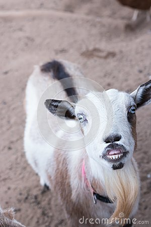 Single black, white and tan, bearded, blue eyes Nigerian dwarf pet goat looking up at camera with evil grin showing teeth, humorou